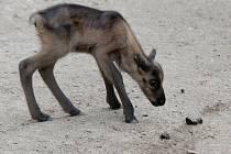 Barča a Bonifác, dvě malá mláďata soba polárního, se koncem května narodila v brněnské zoo. Mají stejného otce, zkušeného sobího samce Karla, každé mládě má ale jinou matku.