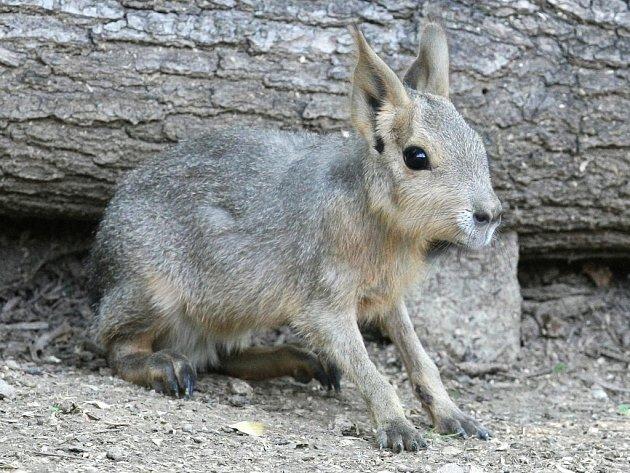 Dva nové přírůstky má brněnská zoologická zahrada. V minulých dnech se tu narodila dvě mláďata mary stepní.
