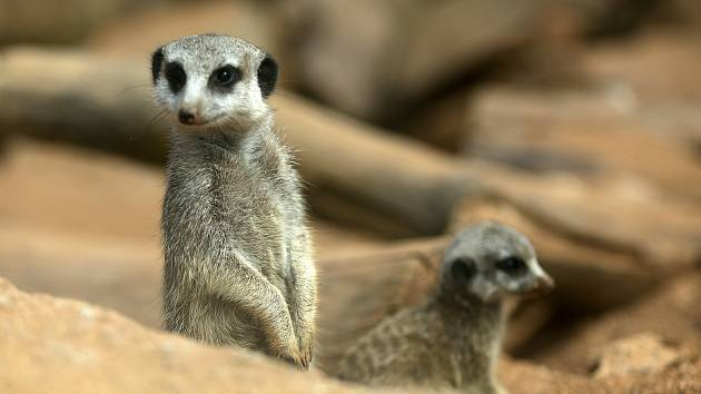 Příjemné jarní počasí a otevřené brány oblíbeného místa v Brně využily v pondělí desítky nedočkavých návštěvníků. Mohli se podívat na nové přírůstky oblíbených surikat, nebo mláďata takina či velblouda.