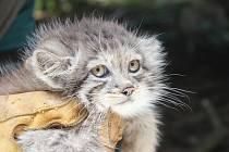 Malý manul v brněnské zoo. Mládě asijské divoké kočky.
