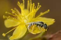Na Pálavě našel nejmenší včelu v republice. Měří čtyři milimetry