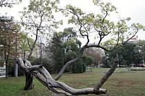 Vítězný strom roku - Katalpa trubačovitá.