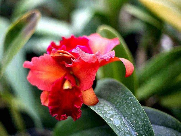 Orchideje v brněnské botanické zahradě.