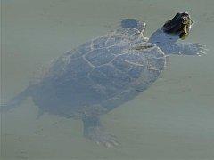 V řece Svitavě plavala čtyřiceticentimetrová želva nádherná.