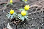 Ačkoli má ještě přijít ochlazení, v brněnských parcích a zahradách už vykvetly první jarní květiny. Například talovín.