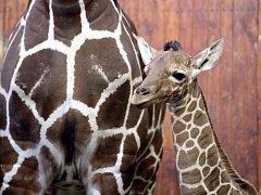 Žirafí samička z brněnské zoo.