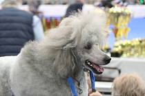 Na mezinárodní výstavu psů Duo Cacib 2020 se na brněnské výstaviště sjeli stovky chovatelů se svými čtyřnohými svěřenci.