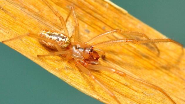 Jméno snovačka moravská (Enoplognatha bryjai) dostal nový druh pavouka popsaný Milanem Řezáčem z Výzkumného ústavu rostlinné výroby v Praze-Ruzyni. Vyskytuje se vzácně na jižní Moravě. Pavouk se rovnou ocitl také na seznamu kriticky ohrožených druhů.