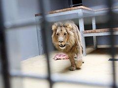 Lev Lolek je novou atrakcí brněnské zoo.