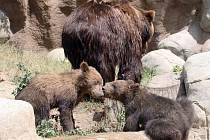 Medvědice Kamčatka.