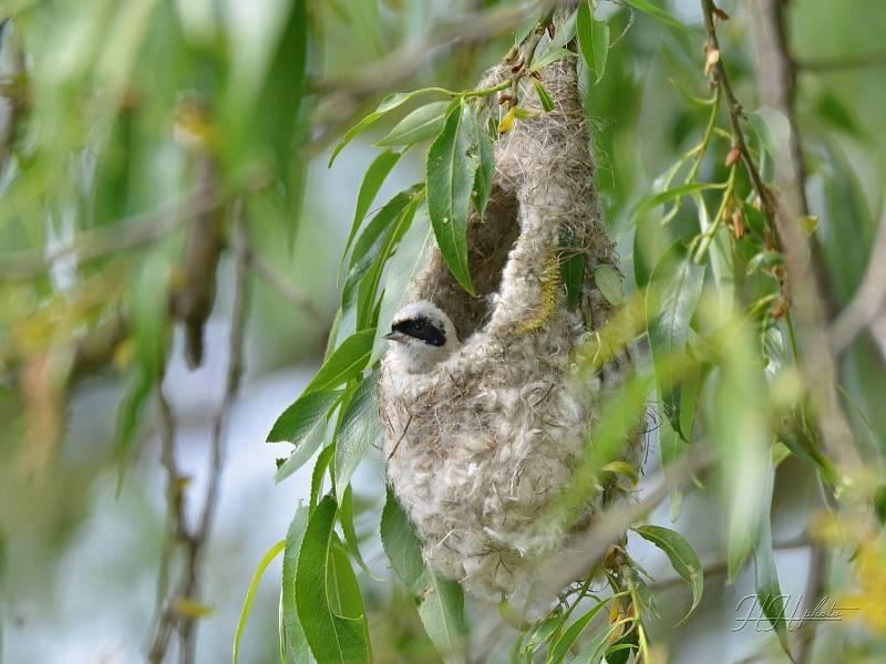 Zachycení ptáků v přírodě je pokaždé plné překvapení. Na snímku je moudivláček lužní.