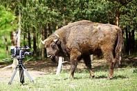 Natáčení snímku z cyklu Češi zachraňují, který má za cíl navrátit velké kopytníky včetně zubra do opuštěného vojenského újezdu u Milovic.