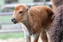 Je stará několik dní a už váží čtyřicet kilogramů. Jde o samici bizona amerického, která se narodila tento týden v pondělí v brněnské zoologické zahradě.