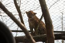 Levhartí mláďata dostala od svých kmoter jména Aruni a Ashanga