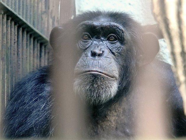 Šimpanz Fáben nebude po víc než roku od úmrtí poslední družky v kleci brněnské zoo sám. Přibyly mu dvě samice.