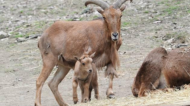 Nový přírůstek do rodiny paovcí přišel na svět minulý týden v brněnské zoo. Samec se narodil přímo ve výběhu.