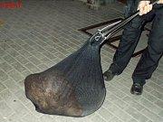 Zatoulaného bobra odchytili strážníci v brněnské ulici Špitálka a vrátili ho zpátky do řeky.