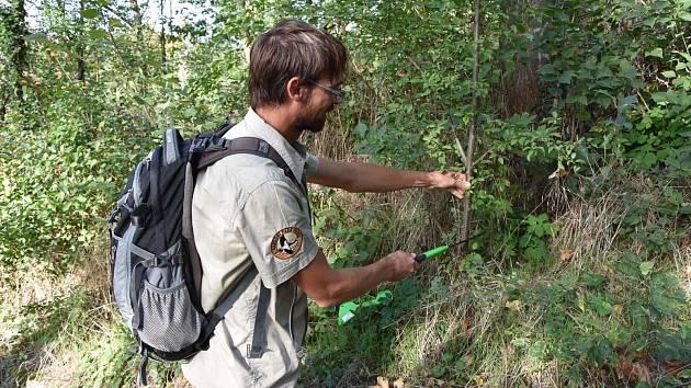 Odborníci z Národního parku Podyjí řeší společně s Městskou zelení Znojmo přemnožený pajasan.