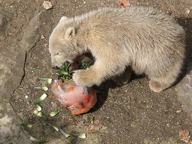 Hrdinku finského románu Strážkyně pramene od spisovatelky Emmi Itäranta a malou brněnskou medvědici od sobotního dopoledne spojuje stejné jméno. Zatím poslední přírůstek do rodiny brněnských ledních medvědů tak dostal jméno Noria.