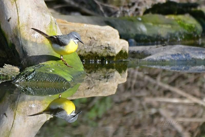 Zachycení ptáků v přírodě je pokaždé plné překvapení. Na snímku je konipas horský.