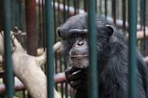 Šimpanz Sebastian.