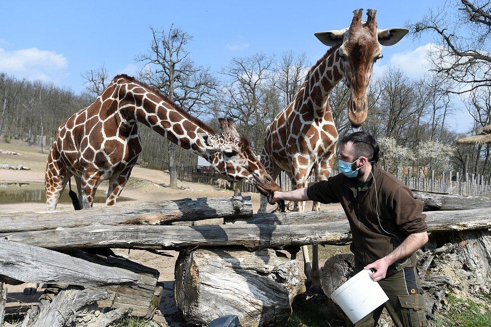 Komentované krmení žiraf síťovaných v brněnské zoologické zahradě