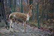 Zvířata z brněnské zoologické zahrady se dočkala novoročního krmení od dětí.