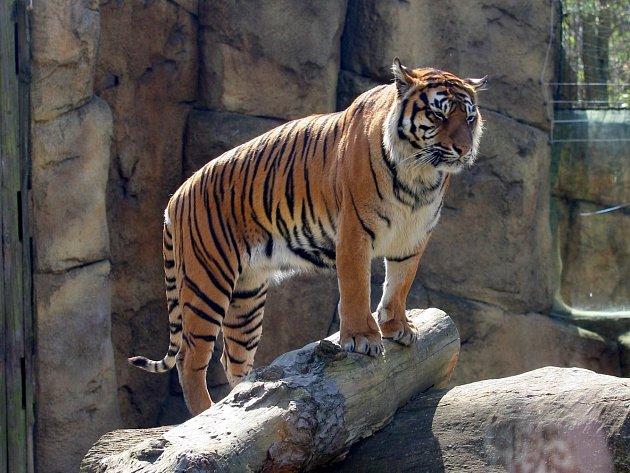 Tygřice Satu v brněnské zoo. Ilustrační foto.