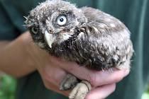 V Brněnské zoologické zahradě se narodilo pět mláďat ohroženého sýčka obecného.