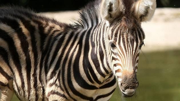 Samčí mládě zebry v brněnské zoo.