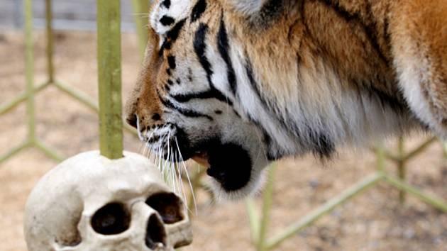 Tygr z cirkusové společnosti JO-JOO.