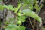 Miroslav Effenberger z Přibic pěstuje fíky, olivy, citrony, granátové jablko a další exotické plody.