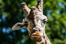 Žirafa. Ilustrační foto.