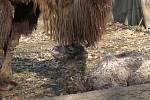 Dva mladé velbloudí samce uvidí od pondělí ve výběhu návštěvníci v brněnské zoo. Na svět přišli koncem března.