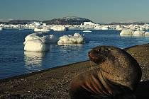 Vědci z brněnské Masarykovy univerzity, kteří už několik týdnů bádají na Antarktidě, mají v posledních dnech nezvyklou společnost. K základně J.G Mendela na ostrově Jamese Rosse totiž připlouvají lachtani, kteří  pozorují vědce při jejich práci.
