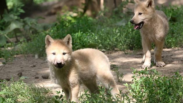 Brno 12.6.2019 - mláďata v brněnské ZOO - vlk arktický