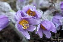 Květy chráněného Koniklece velkokvětého.