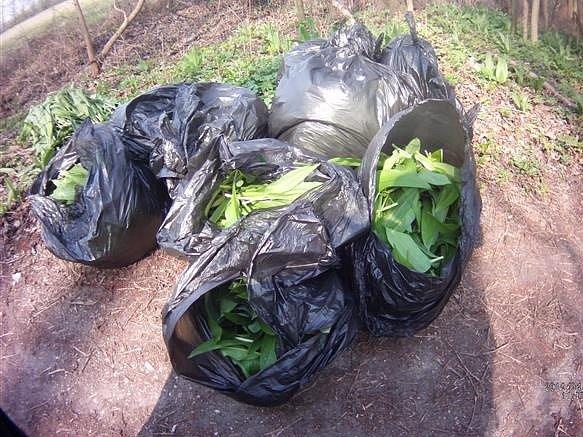 Několik vrchovatých pytlů oblíbené rostliny zabavili brněnští strážníci sběračce v brněnské přírodní rezervaci Černovický hájek. Hlídky tam v posledních dnech míří častěji kvůli sezoně medvědího česneku.