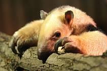 V brněnské zoo přibyl jedenáctiletý mravenečník čtyřprstý. Jmenuje se Jaris.