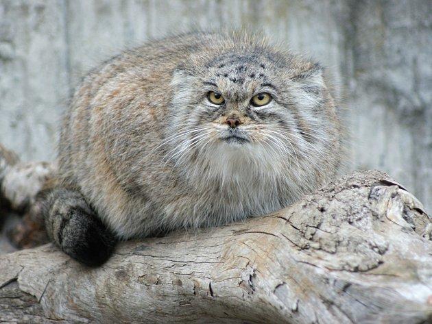 Dlouhosrstá kočka manul (Otocolobus manul) obývá kamenité stepi asijské části Ruska, Nepálu a Tibetu.
