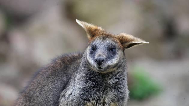 Brněnská zoo zažívá klokaní baby boom. Hned tři klokaní mláďata už začala prozkoumávat svět mimo mámin vak.