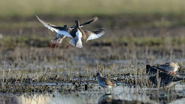 Kriticky ohrožený vodouš rudonohý hnízdí na několika místech na jihu Moravy.