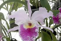 Jako v tropickém ráji. Tak to v sobotu vypadalo ve sklenících Mendelovy univerzity v Brně. Vykvetly tam stovky orchidejí.