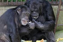Šimpanzi v brněnské zoo.