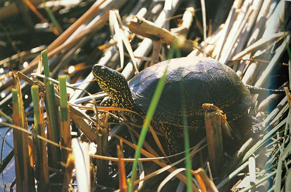Želva bahenní.