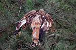 Policie vyšetřuje případy otrávených chráněných luňáků
