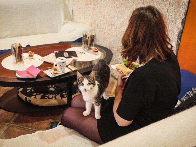 V nedávno otevřené, v pořadí už druhé kočičí kavárně v Brně, Envicafé dělá návštěvníkům společnost hned sedm koček. Jednou z nich je kocour Felix (na snímku). Všechny kočky jsou z útulků nebo přímo z ulice.