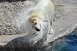 Lední medvědice Noria nyní žije v německém Rostocku.
