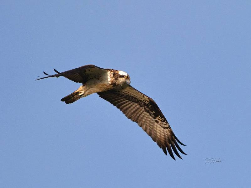 Zachycení ptáků v přírodě je pokaždé plné překvapení. Na snímku je orlovec říční.