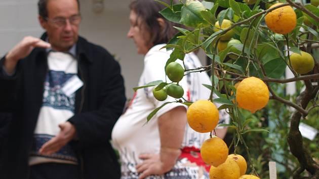 Citrony, mandarinky, kokosy či kaki. Na takové ovoce se mohou Brňané přijít podívat do konce tohoto týdne do botanické zahrady.